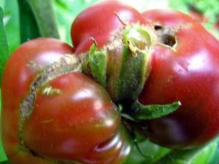 トマト(黒トマト)・デジカメ画像